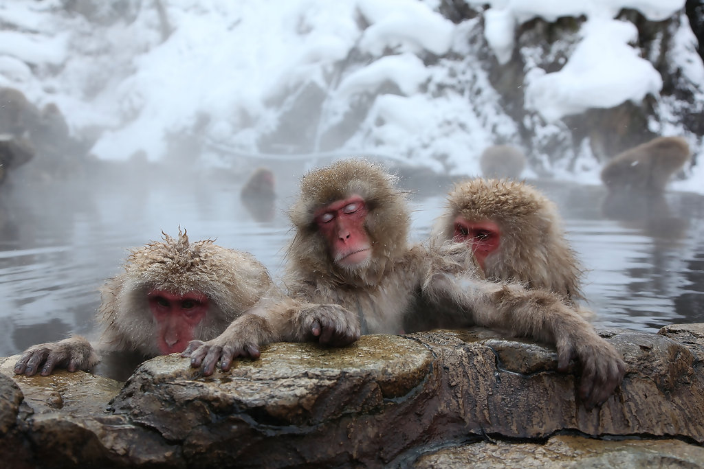 Image result for macaques