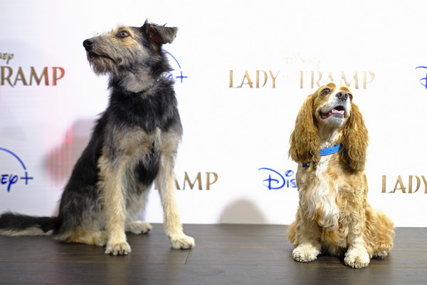 """Cinema Society Hosts Special Screening Of Disney+'s """"Lady And The Tramp"""" - Red Carpet [lady and the tramp,dog,mammal,vertebrate,dog breed,canidae,companion dog,carnivore,miniature schnauzer,conformation show,snout,rose,monte,screening,ipic theater,new york city,cinema society hosts special screening of disney,red carpet]"""