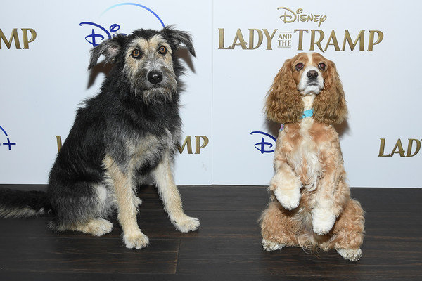 """Cinema Society Hosts Special Screening Of Disney+'s """"Lady And The Tramp"""" - Red Carpet []"""