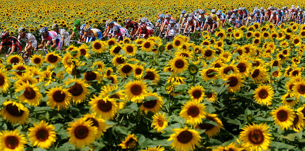 The peloton makes its way past fields of sunflowers during stage 11 of the 2009 Tour de France from Vatan to Saint-Fargeau-Ponthierry on July 15, 2009 in Vatan, France.