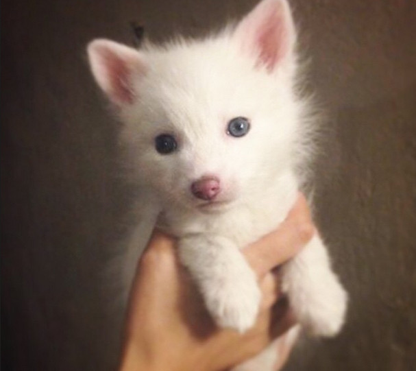 Have You Seen the Baby White Fox Whose Cuteness Is Owning ... - photo#3