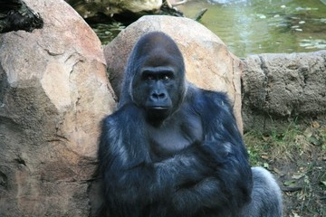 This Pissed Off Gorilla Wants No Part of Your Amusement