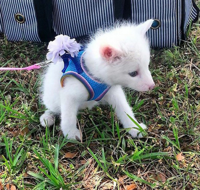 Have You Seen the Baby White Fox Whose Cuteness Is Owning ... - photo#25