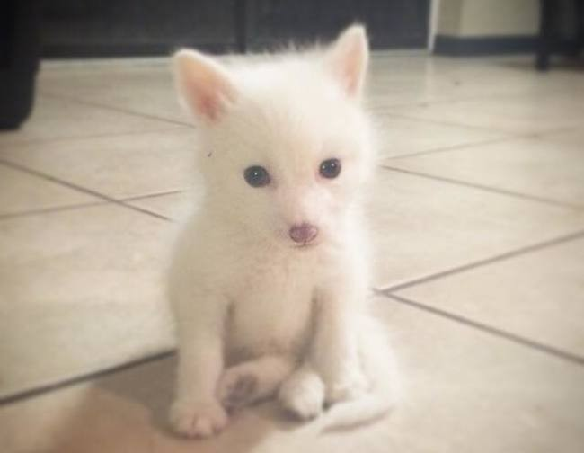 Have You Seen the Baby White Fox Whose Cuteness Is Owning ... - photo#10