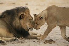 Cecil the Lion's Memorial Will Perfectly Fit His Story