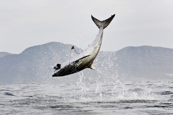 Great White Shark Jumping For Seal